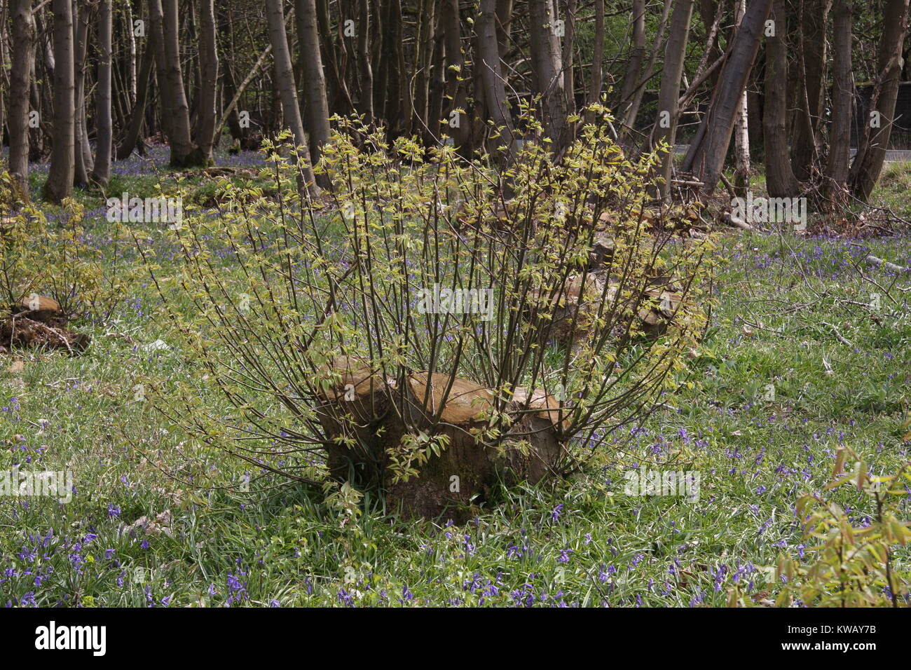 Castanea sativa, the Sweet Chestnut 1sy year regeneration from a coppiced tree stool in ancient kent woodland. Conservation Stock Photo