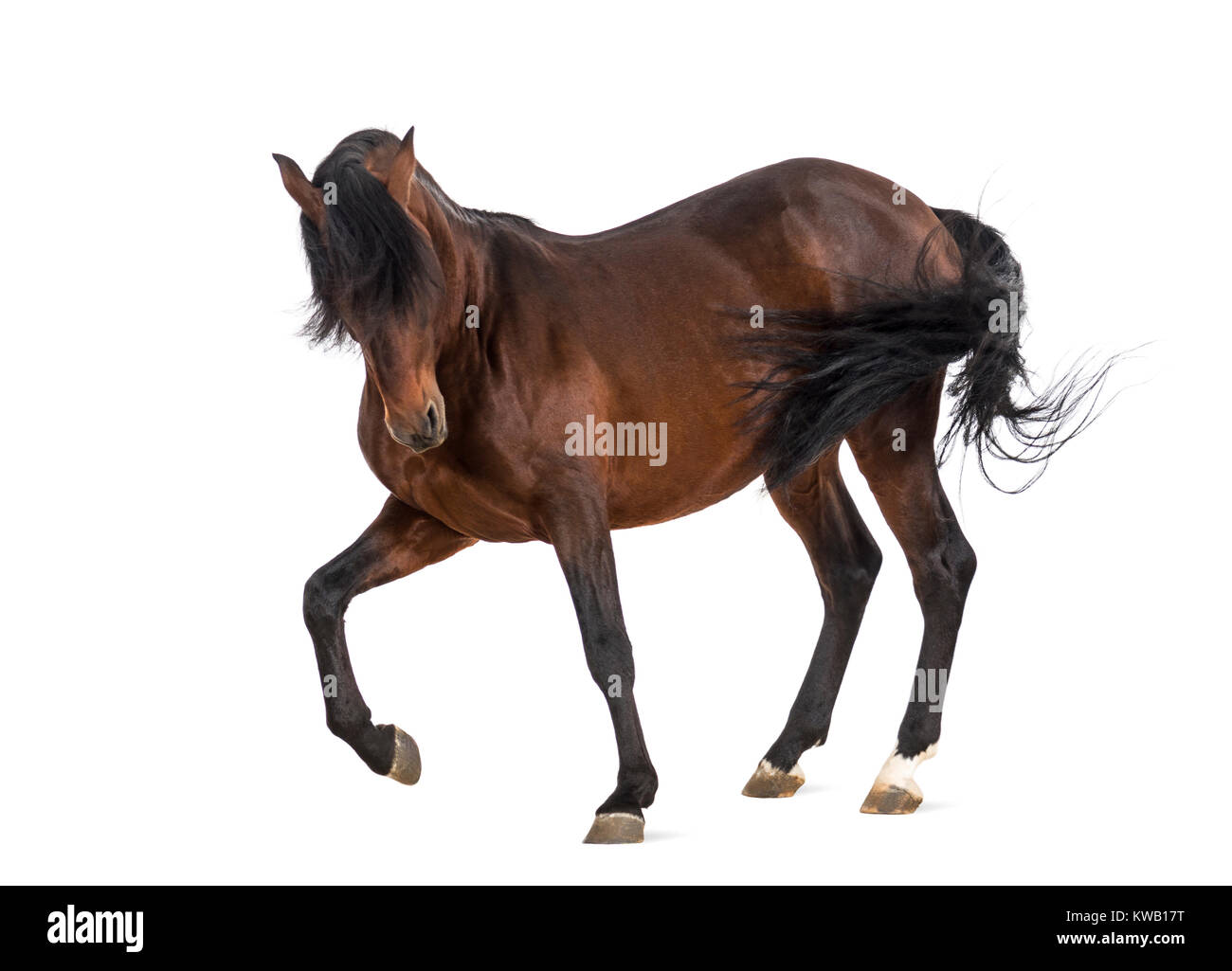 Andalusian horse trotting - Stock Image