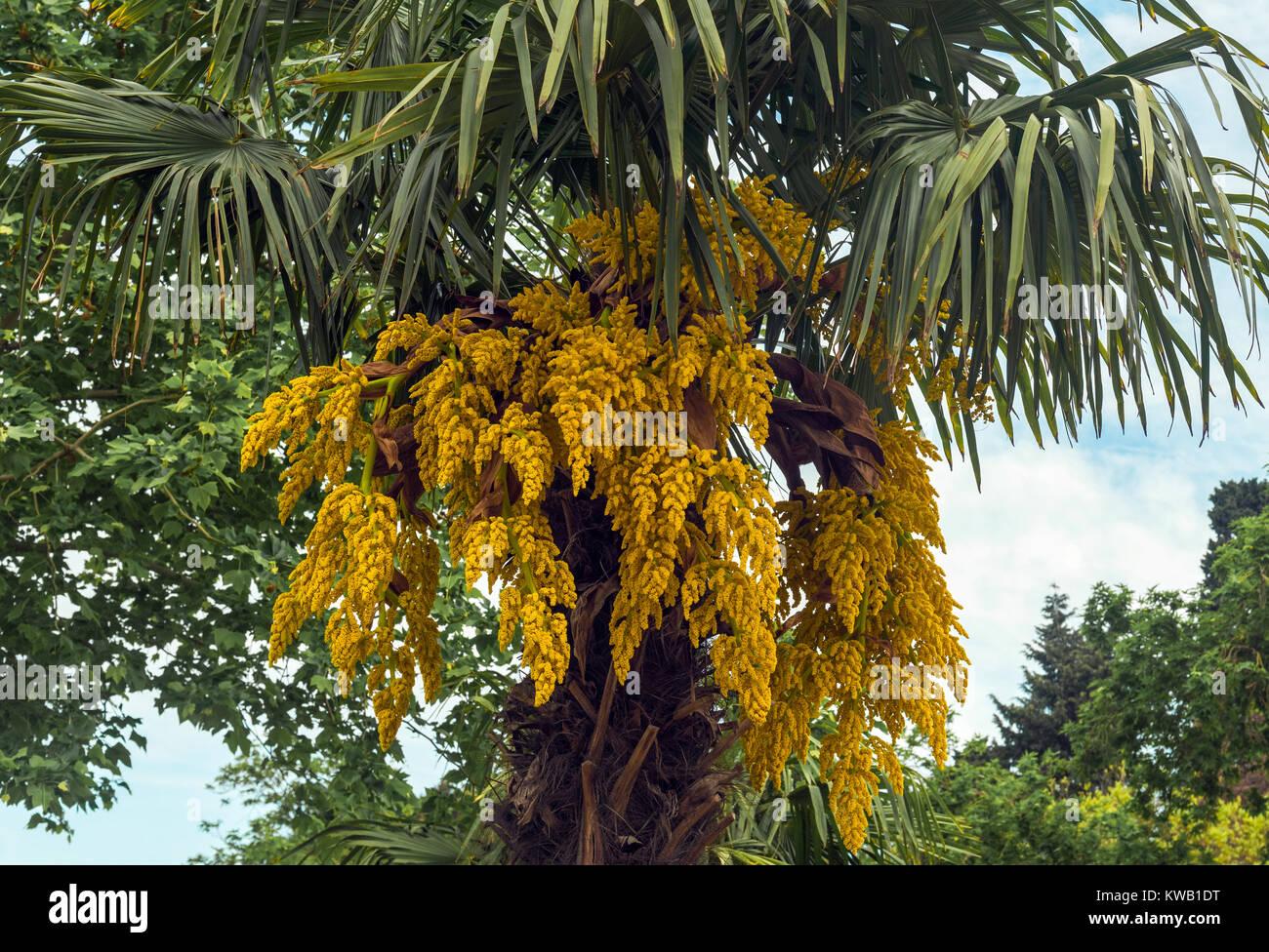 Blossoming palm tree yellow flowers stock photos blossoming palm blooming palm tree stock image mightylinksfo