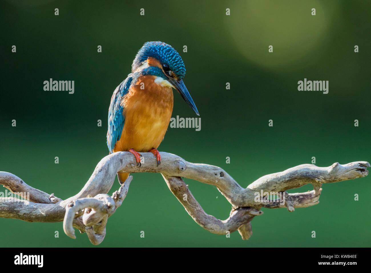 Eurasian Kingfisher Stock Photo