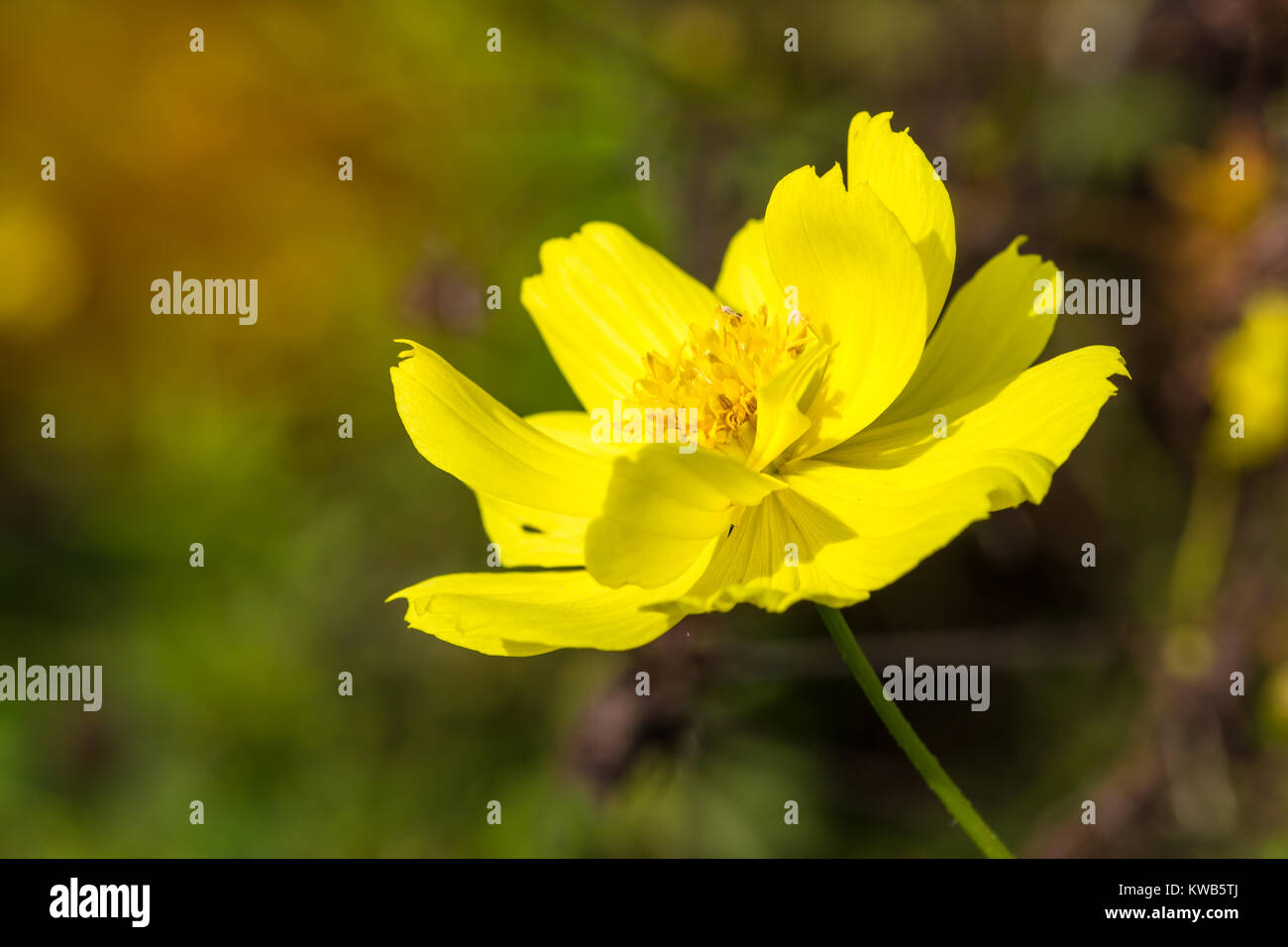 Close up yellow cosmos flower background in garden from low angle close up yellow cosmos flower background in garden from low angle view with light and copy space mightylinksfo