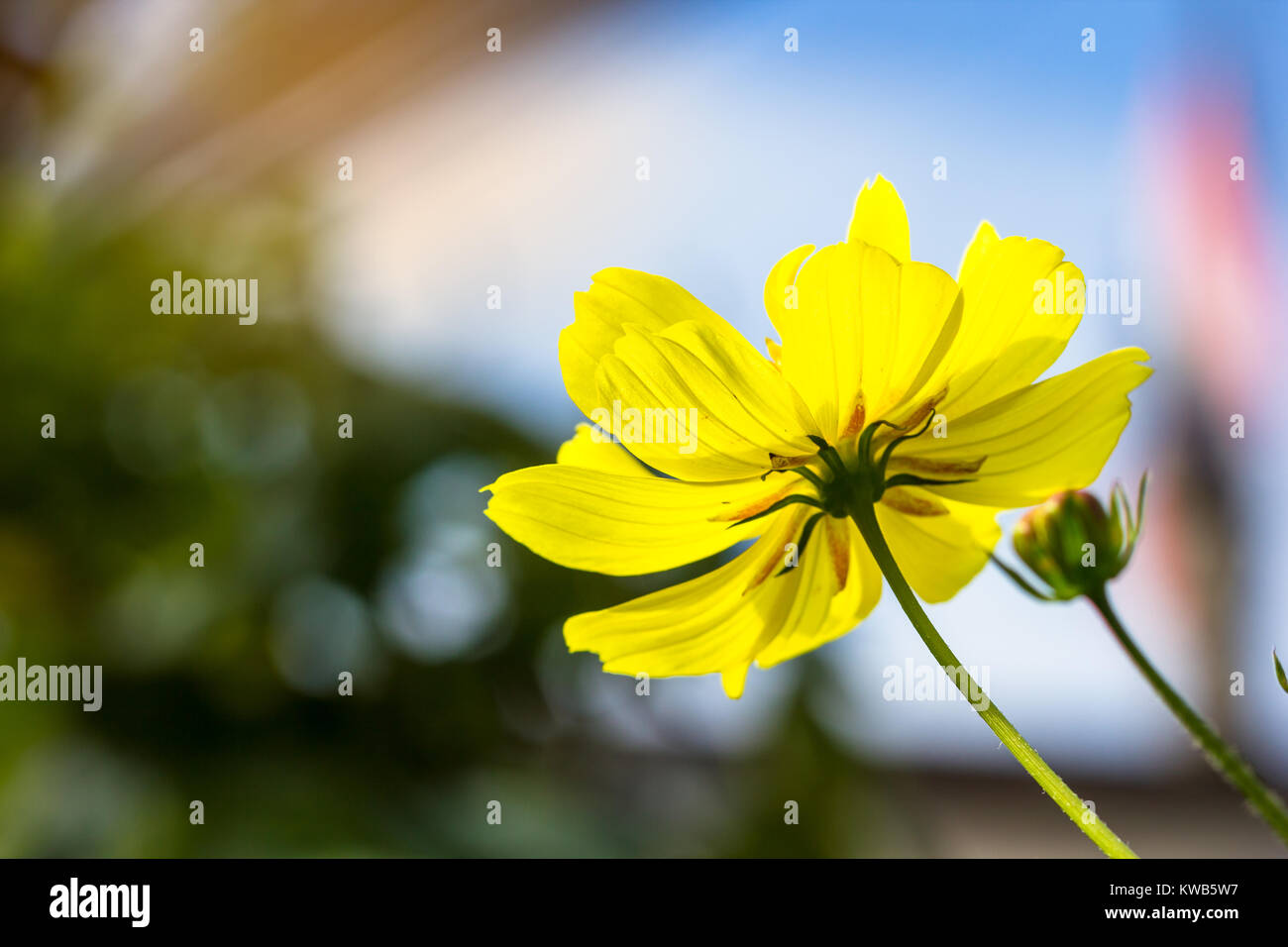 Close up yellow cosmos flower background in garden from countryside close up yellow cosmos flower background in garden from countryside with light and copy space mightylinksfo