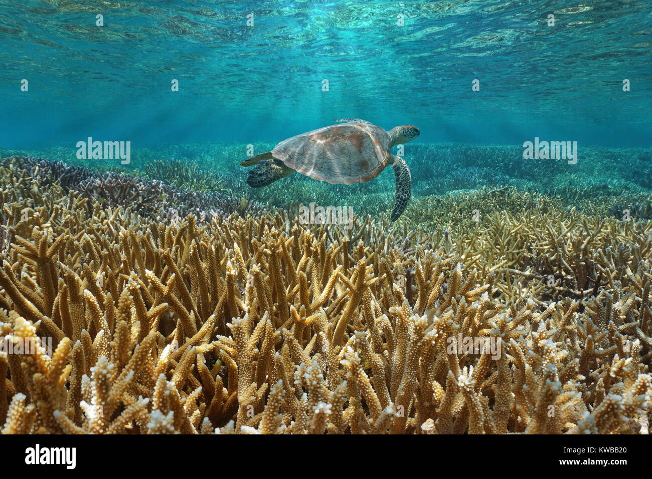 Coral reef underwater with a green sea turtle swims between water surface and corals, Pacific ocean, New Caledonia, - Stock Image