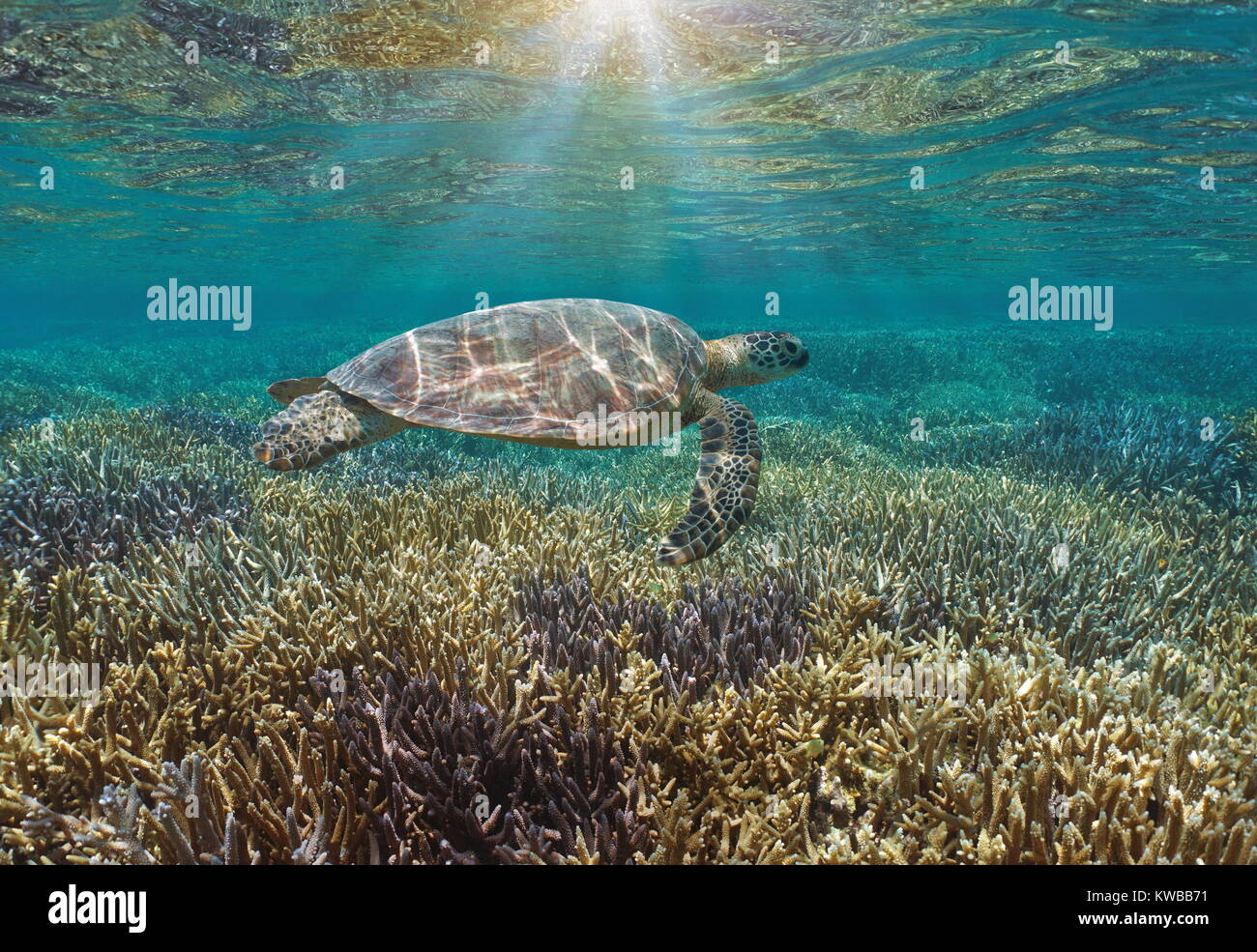 Underwater a green sea turtle over a pristine coral reef with sunlight through water surface, Pacific ocean, New - Stock Image
