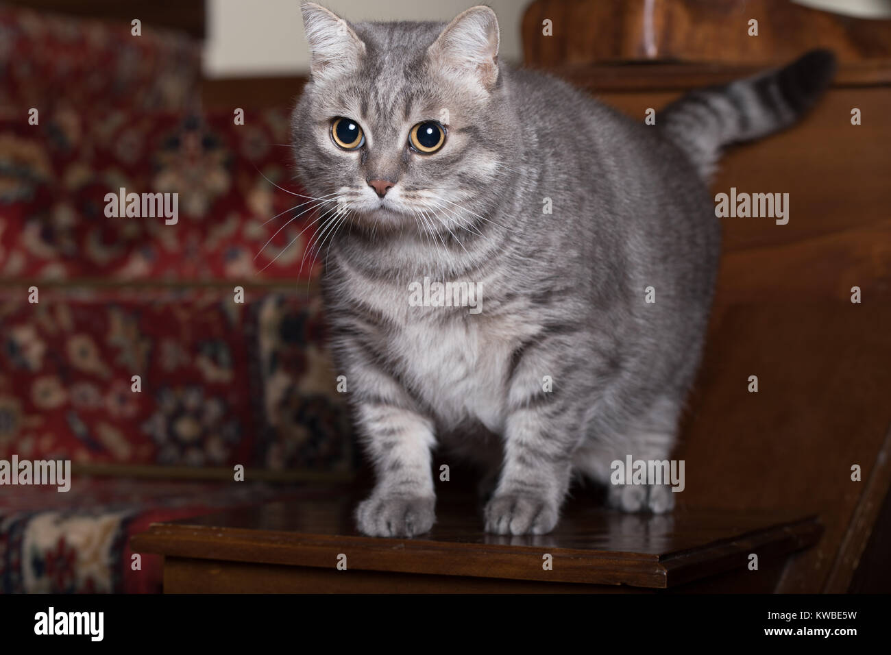 Young grey tabby looking interested in home indoor. - Stock Image