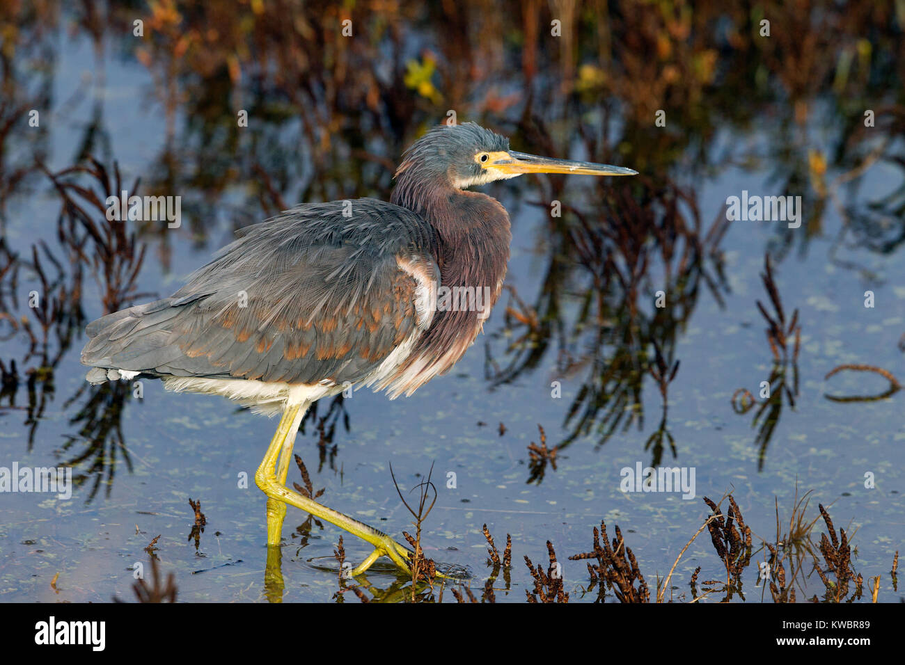 Tricolored Heron in Southern California - Stock Image