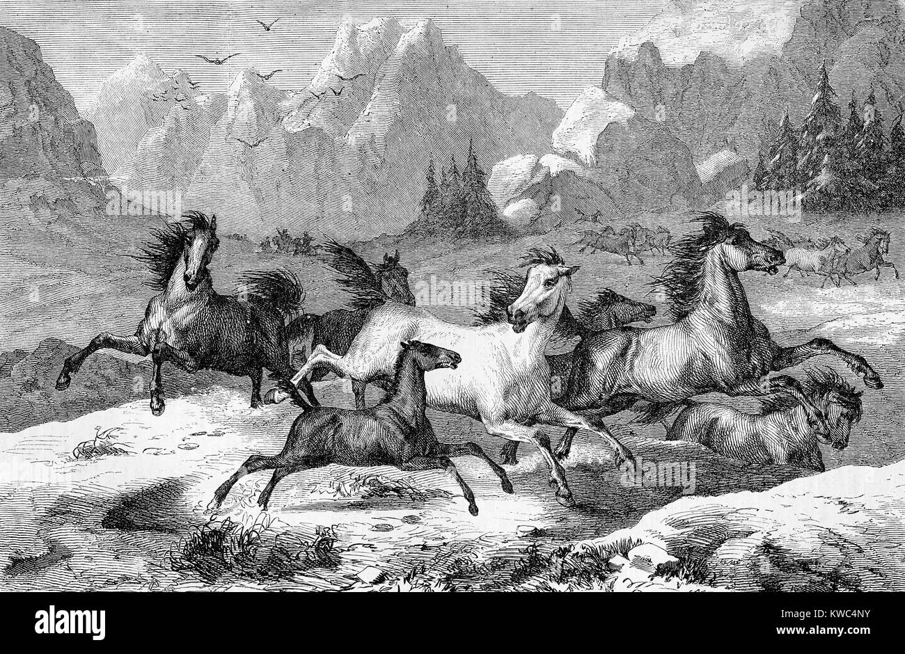 Beautiful vintage engraving of wild horses running free in a mountain  winter panoramic environment - Stock Image