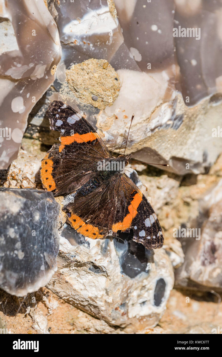 Red Admiral butterfly (Vanessa atalanta, Red admirable) on rocks on a cold day in Winter in West Sussex, England, - Stock Image