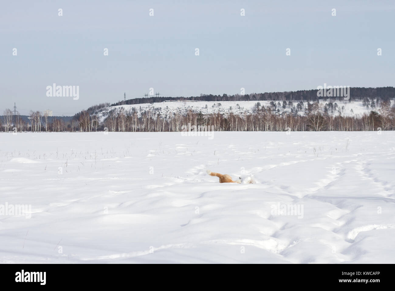A happy Japanese Akita Inu dog is amusingly floundering in the snow in winter on a mountain forest background. - Stock Image