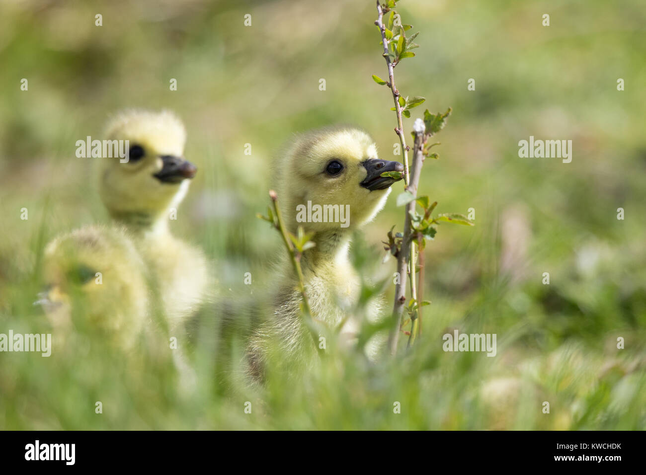 Detailed, landscape close up of very young, fluffy gosling chicks out enjoying sunshine, exploring in the grass; - Stock Image