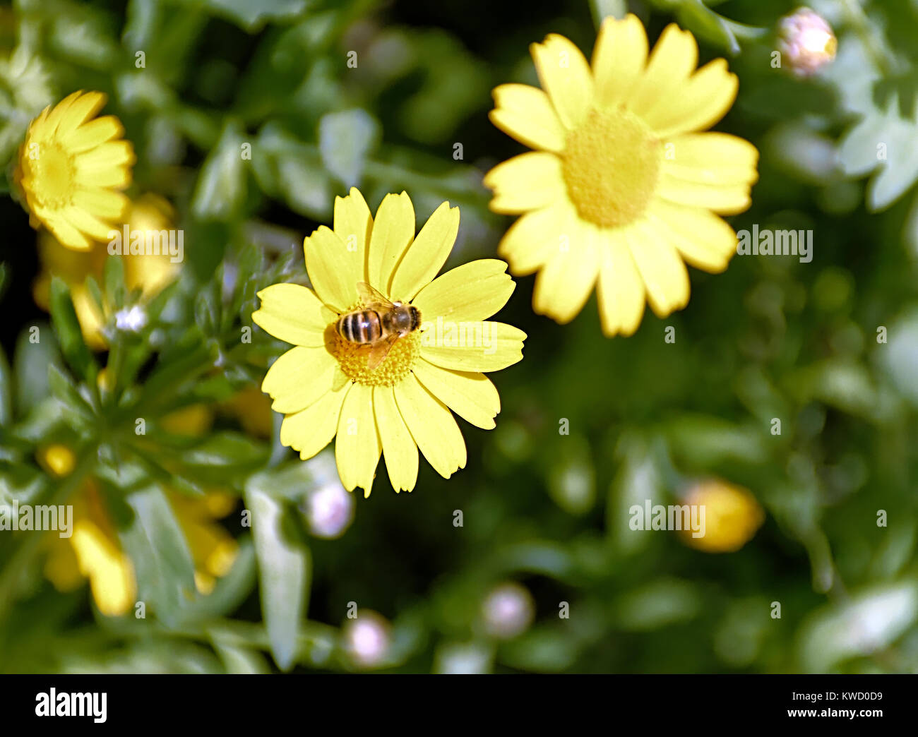 Yellow flower called calendula arvensis with bee on pistils stock yellow flower called calendula arvensis with bee on pistils mightylinksfo