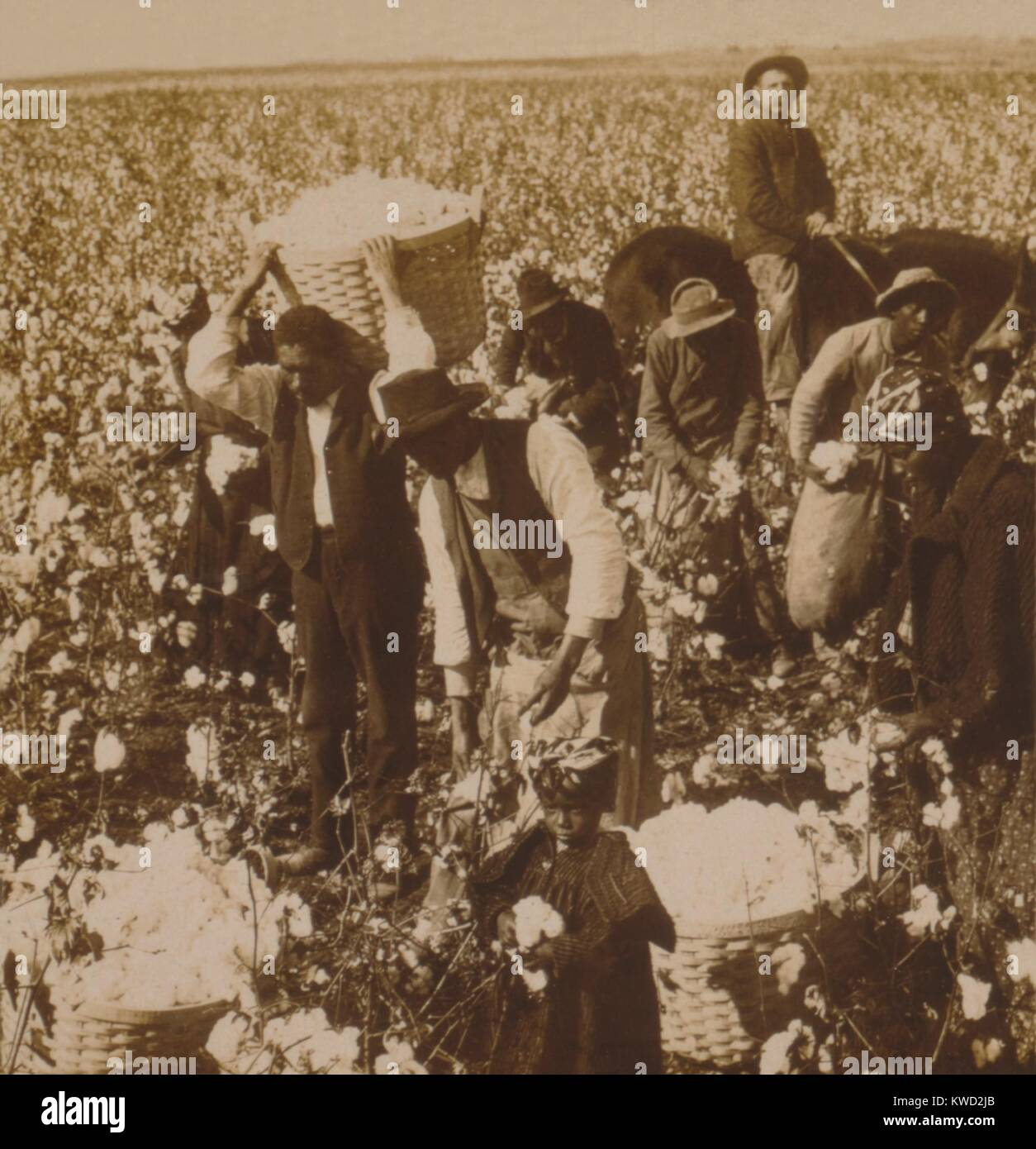 African Americans at picking cotton under supervision of a mounted White overseer, 1907. A small girl with cotton - Stock Image