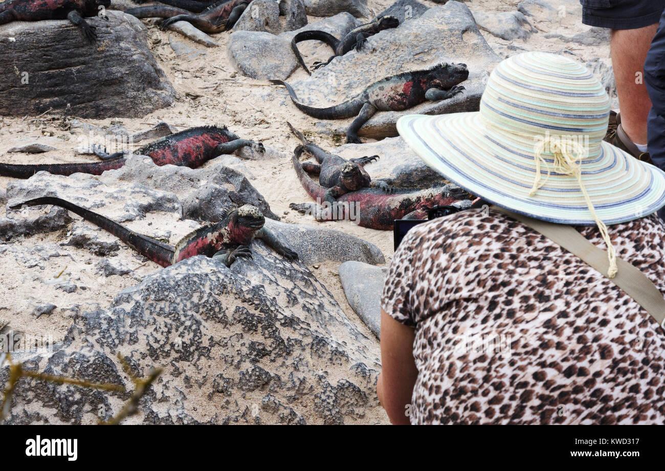 Galapagos - tourist photographing marine iguanas, Espanola Island, galapagos Islands, Ecuador South America - Stock Image