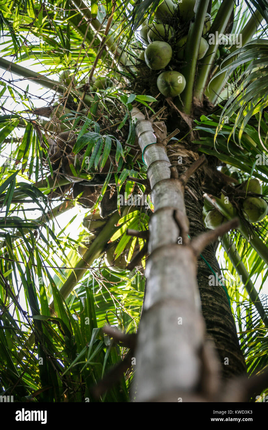 Bamboo ladder used to climb tree to collect sugar sap, Coconut Sugar Plantation, Tambon Kradangnga, Samut Songkhram, - Stock Image