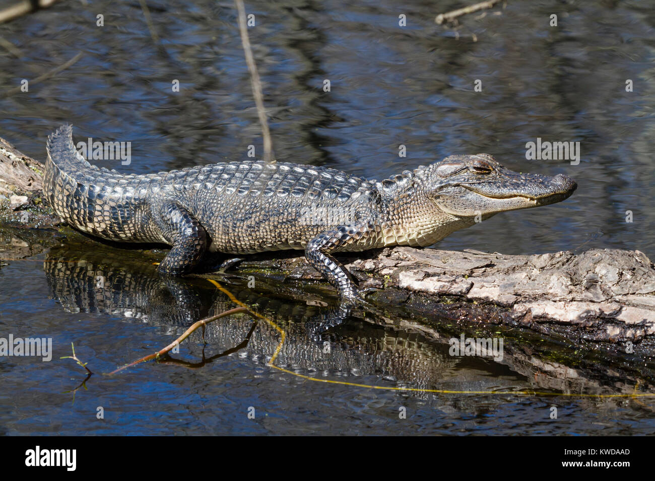 Young alligator on a tree over water - Stock Image