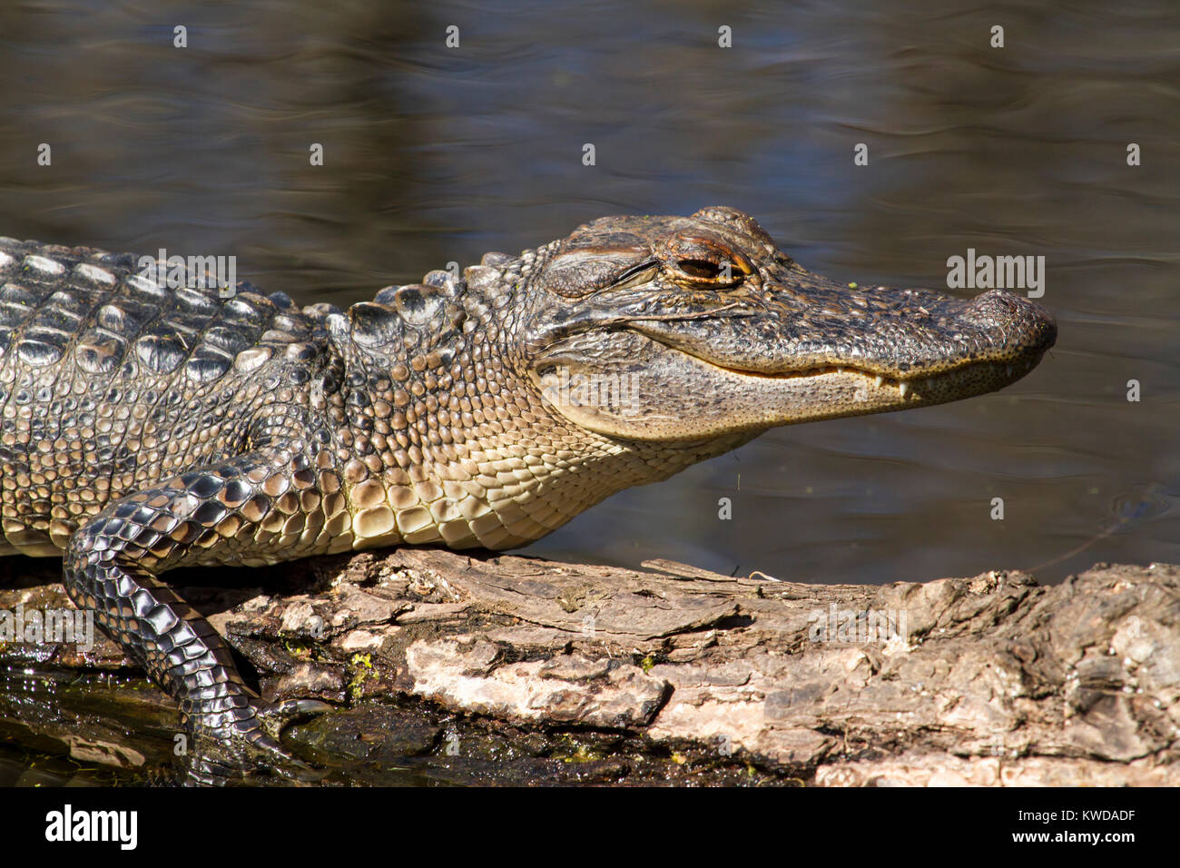 Young alligator close up - Stock Image