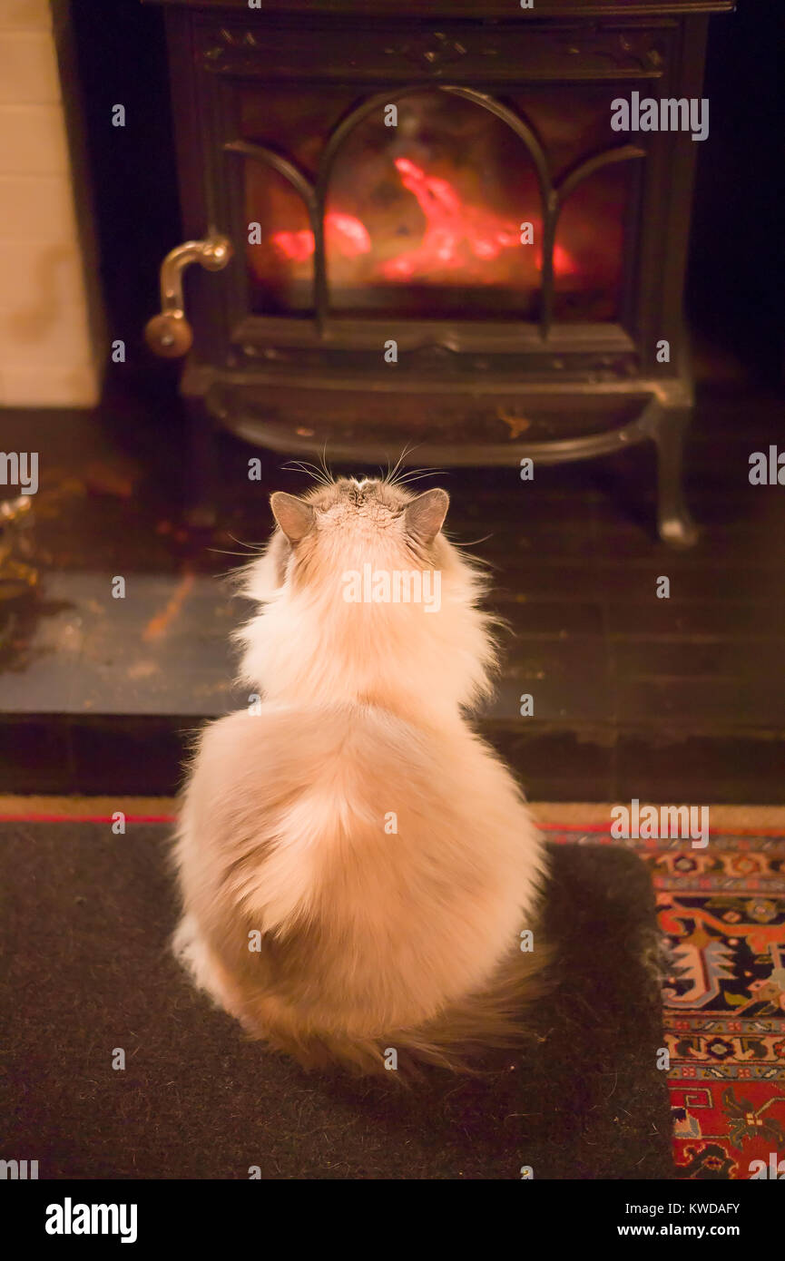 Front seat for warmth and comfort. An adult Ragdoll cat sitting on a mat in front of a blazing fire in an enclosed - Stock Image