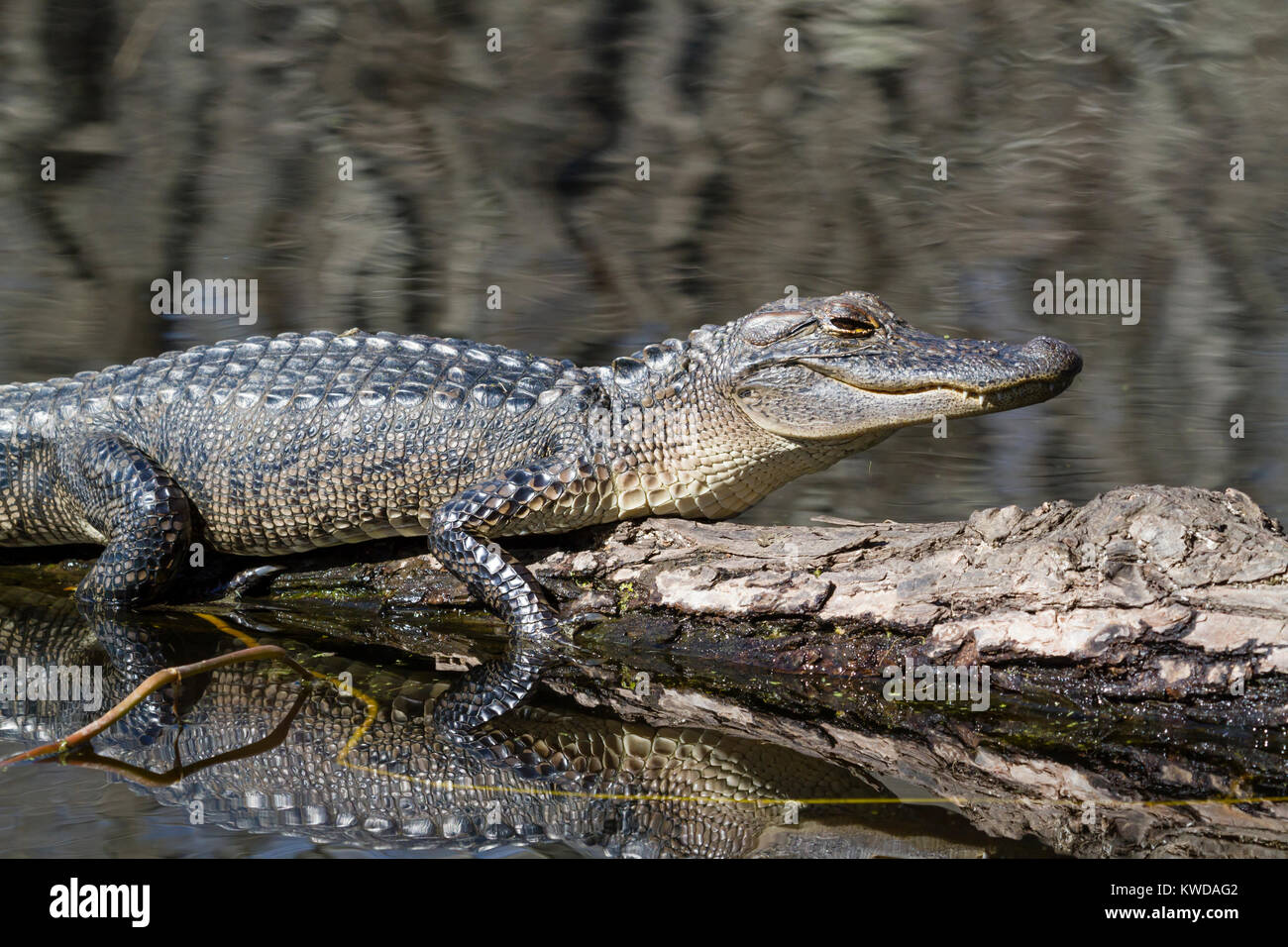 Young alligator taking of sun bath Stock Photo