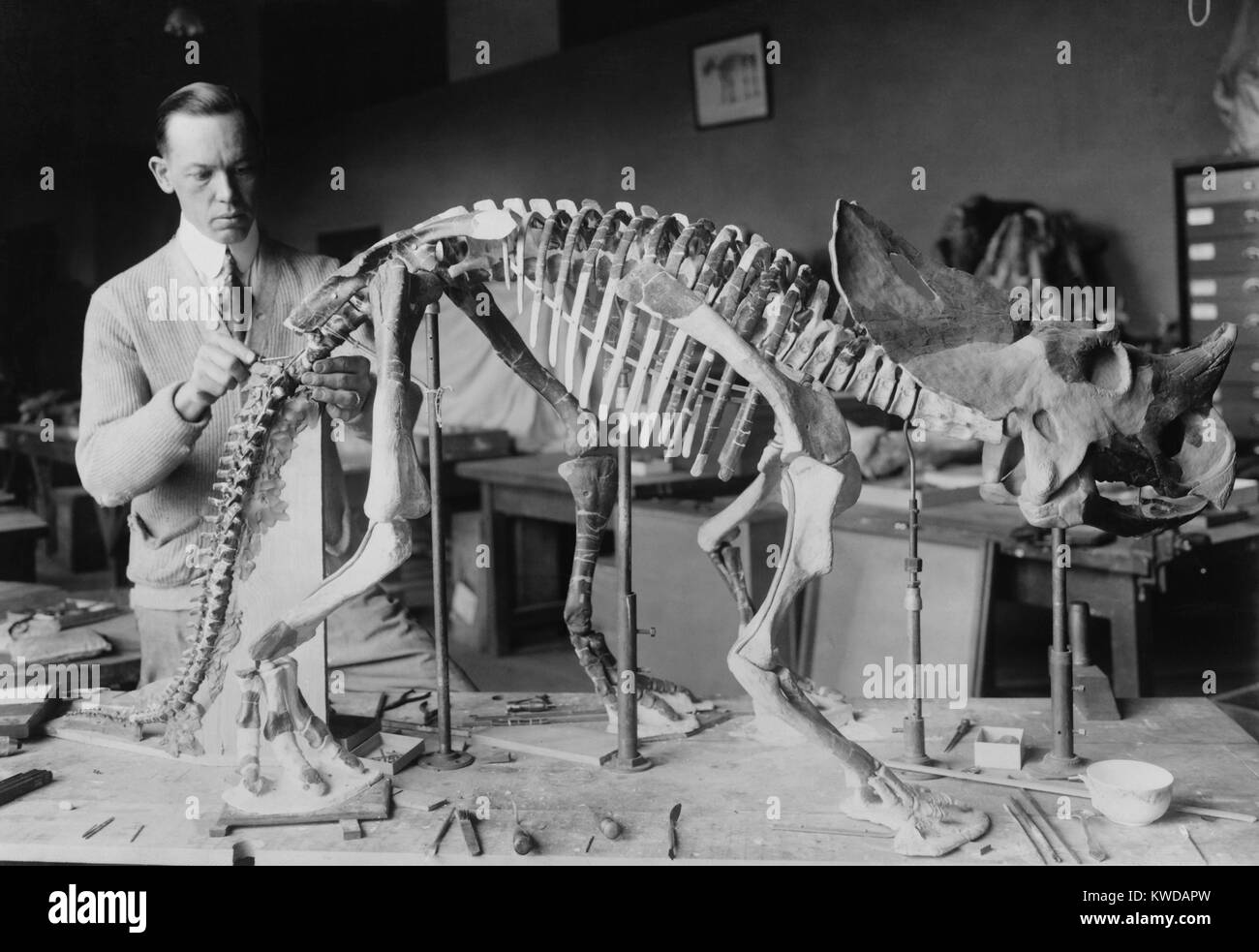 Norman Ross, preparing a baby Brachyceratops skeleton for display at the Smithsonian 1921. The dinosaur fossil was unearthed in Montana and lived seventy or eighty million years ago (BSLOC_2016_10_23) Stock Photo