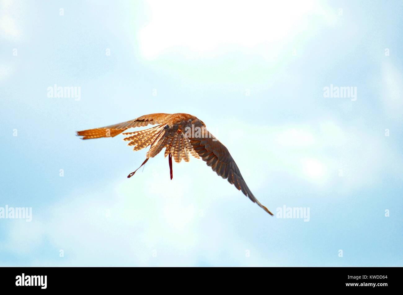 Golden Falcon Stock Photos & Golden Falcon Stock Images ...
