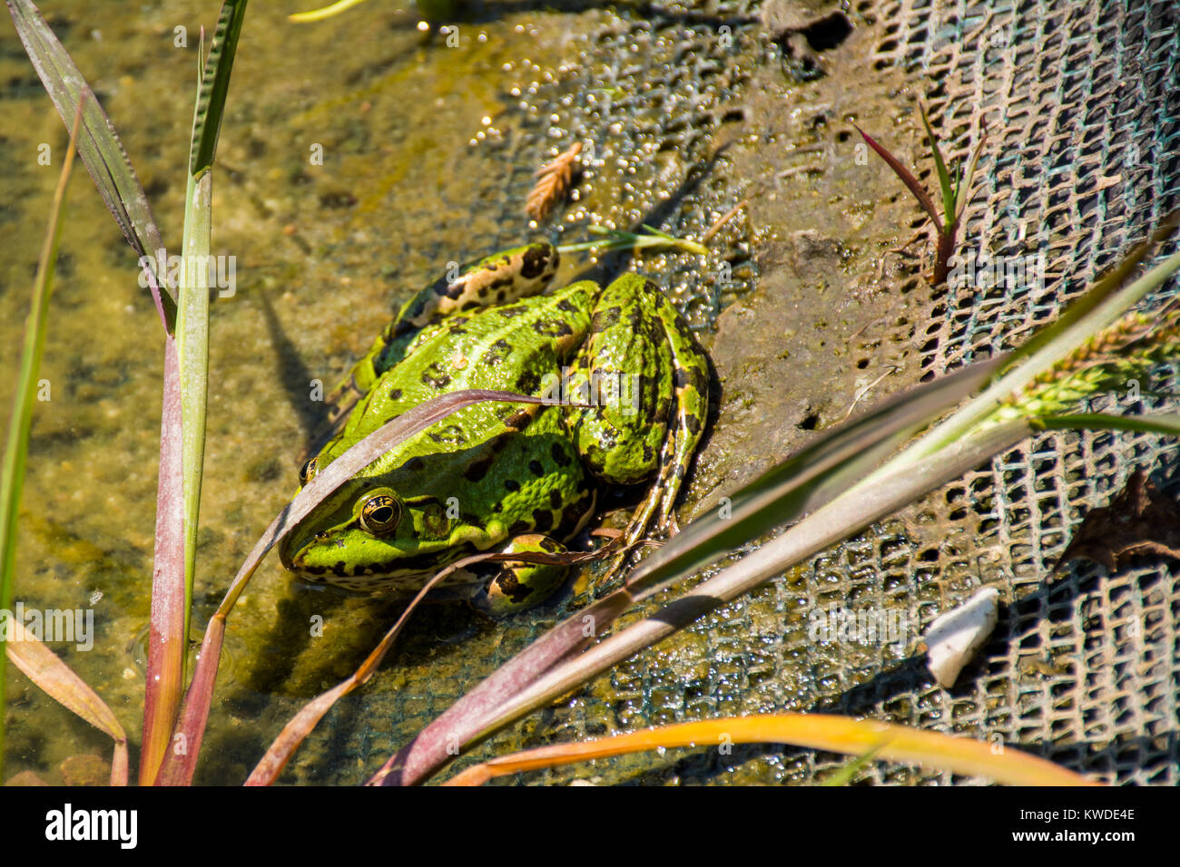Green frog named Pelophylax kl. esculentus with brown stains sitting on the border pond - Stock Image