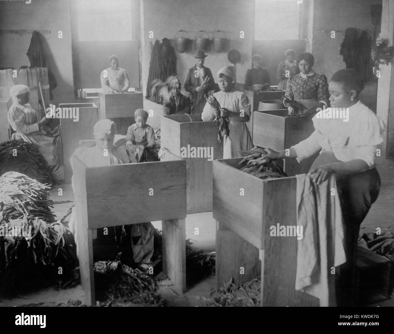 African Americans, mostly women, sorting tobacco in Richmond, Virginia, 1899. The photo taken at T. C. Williams - Stock Image