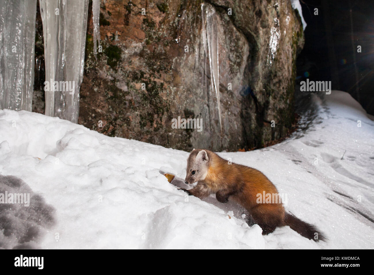 MAYNOOTH, ONTARIO, CANADA - December 20, 2017: A marten (Martes americana), part of the Weasel family / Mustelidae - Stock Image