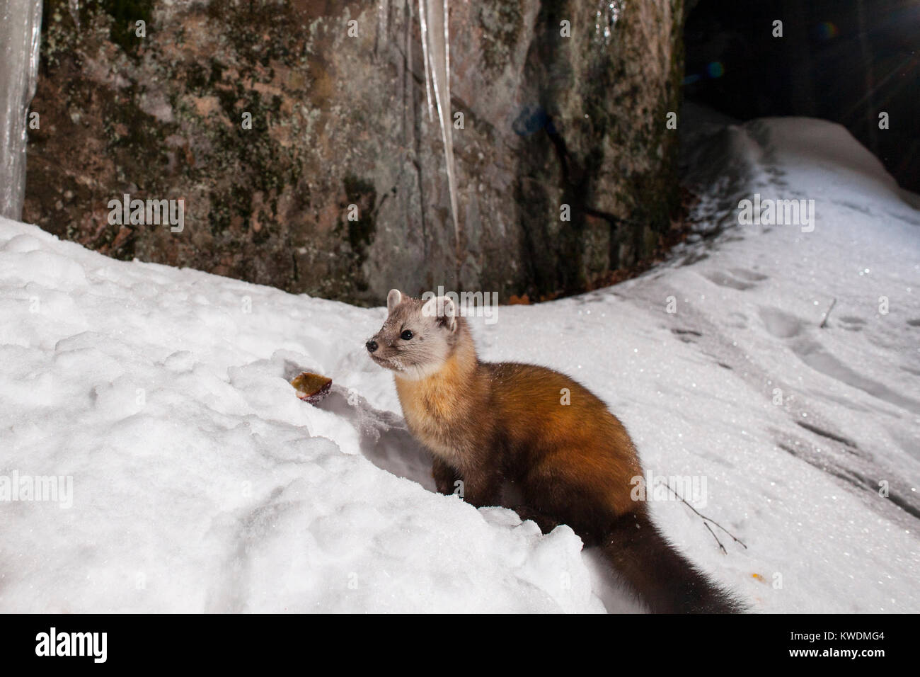 MAYNOOTH, ONTARIO, CANADA - December 21, 2017: A marten (Martes americana), part of the Weasel family / Mustelidae - Stock Image