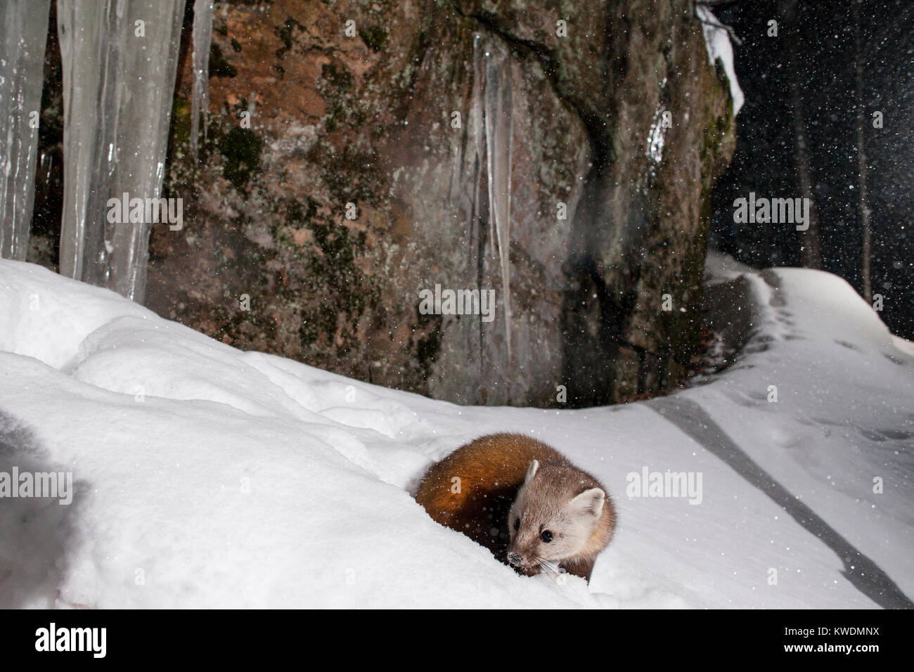 MAYNOOTH, ONTARIO, CANADA - December 25, 2017: A marten (Martes americana), part of the Weasel family / Mustelidae - Stock Image