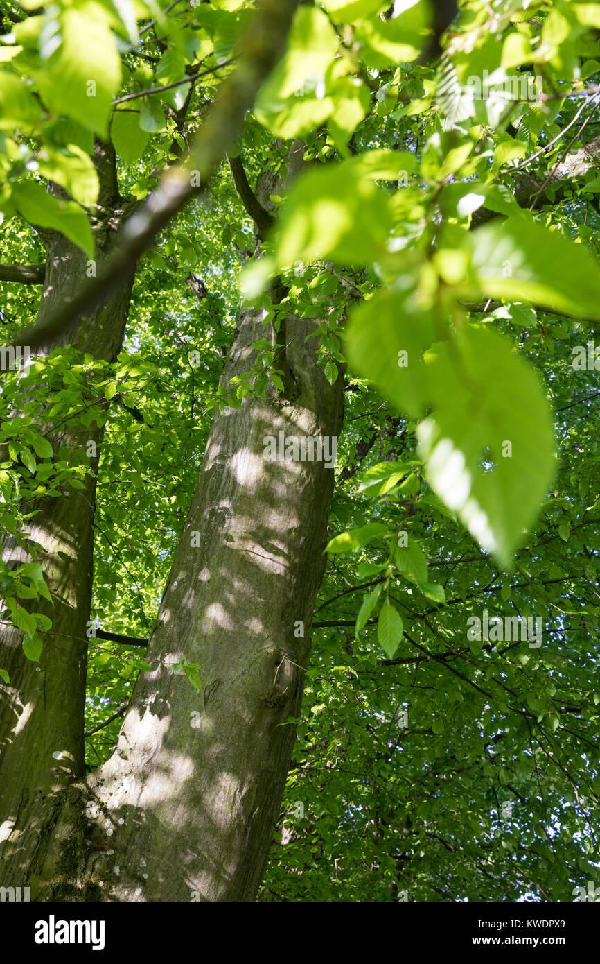 Hainbuche, Hain-Buche, Weißbuche, Weissbuche, Blick in die Baumkrone, Blätterdach, Rinde, Borke, Stamm, - Stock Image