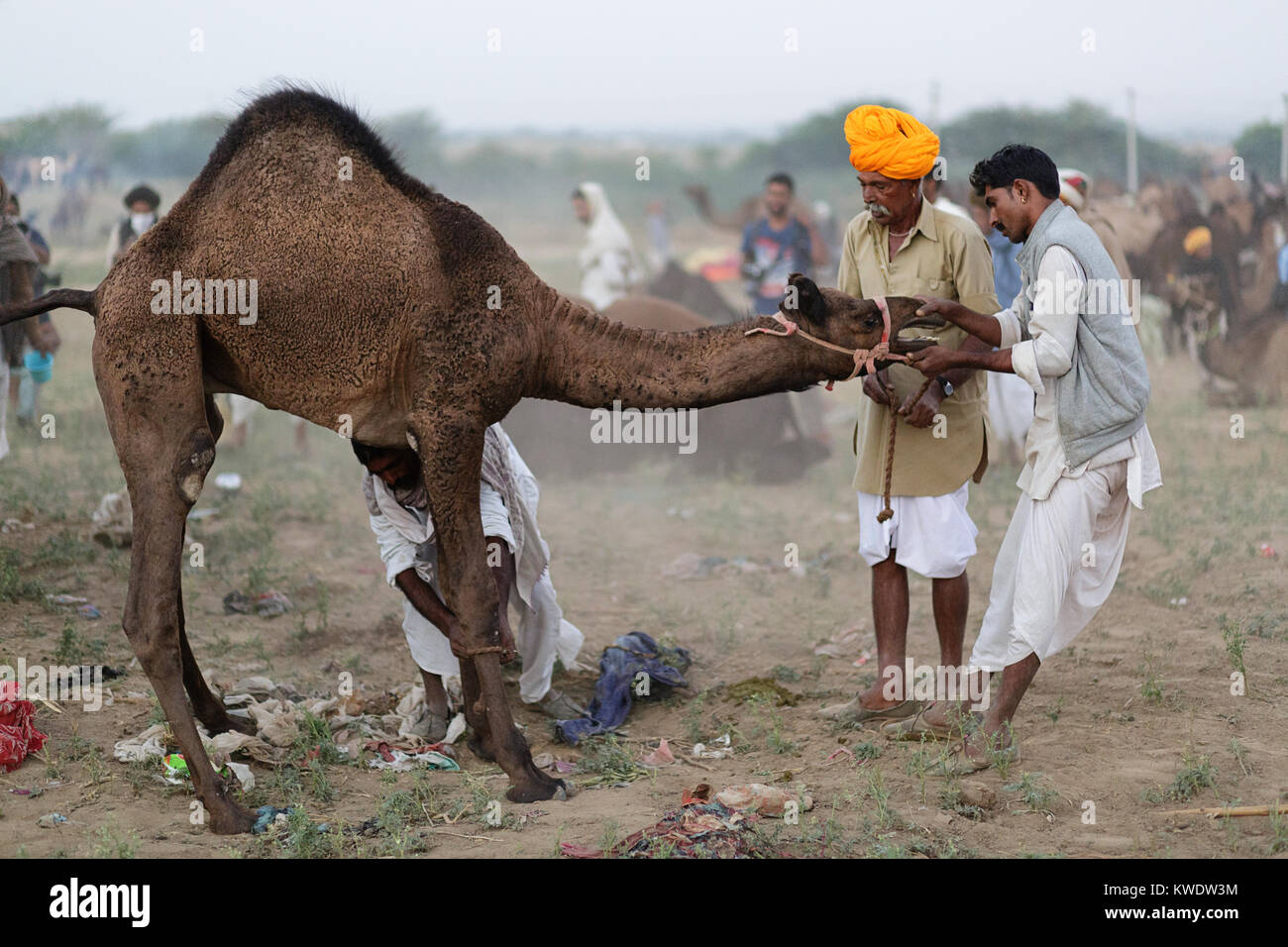 Scene at Pushkar Camel Fair, trader trying to tame disobedient camel, Rajasthan, India - Stock Image