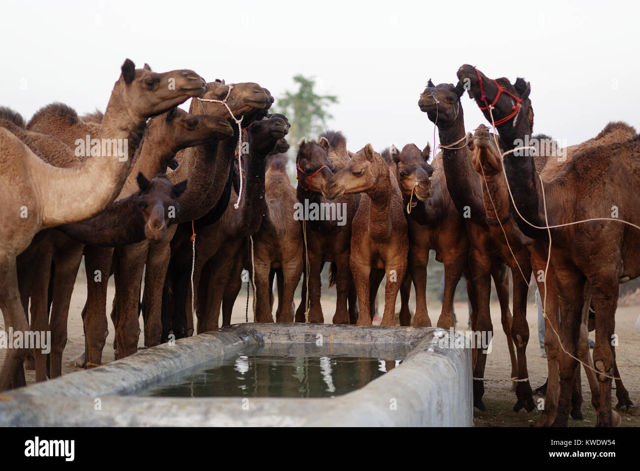 Scene at Pushkar Camel Fair, herd of camels standing by water tank and drinking, Rajasthan, India - Stock Image