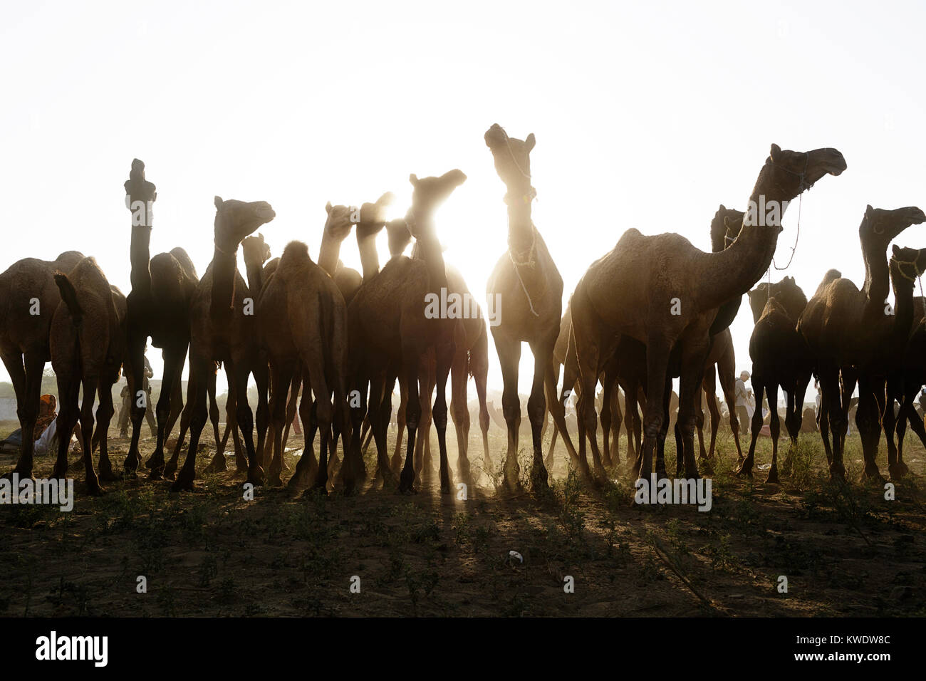 Scene at Pushkar Camel Fair, herd of camels, back light, morning, Pushkar, Rajasthan, India - Stock Image