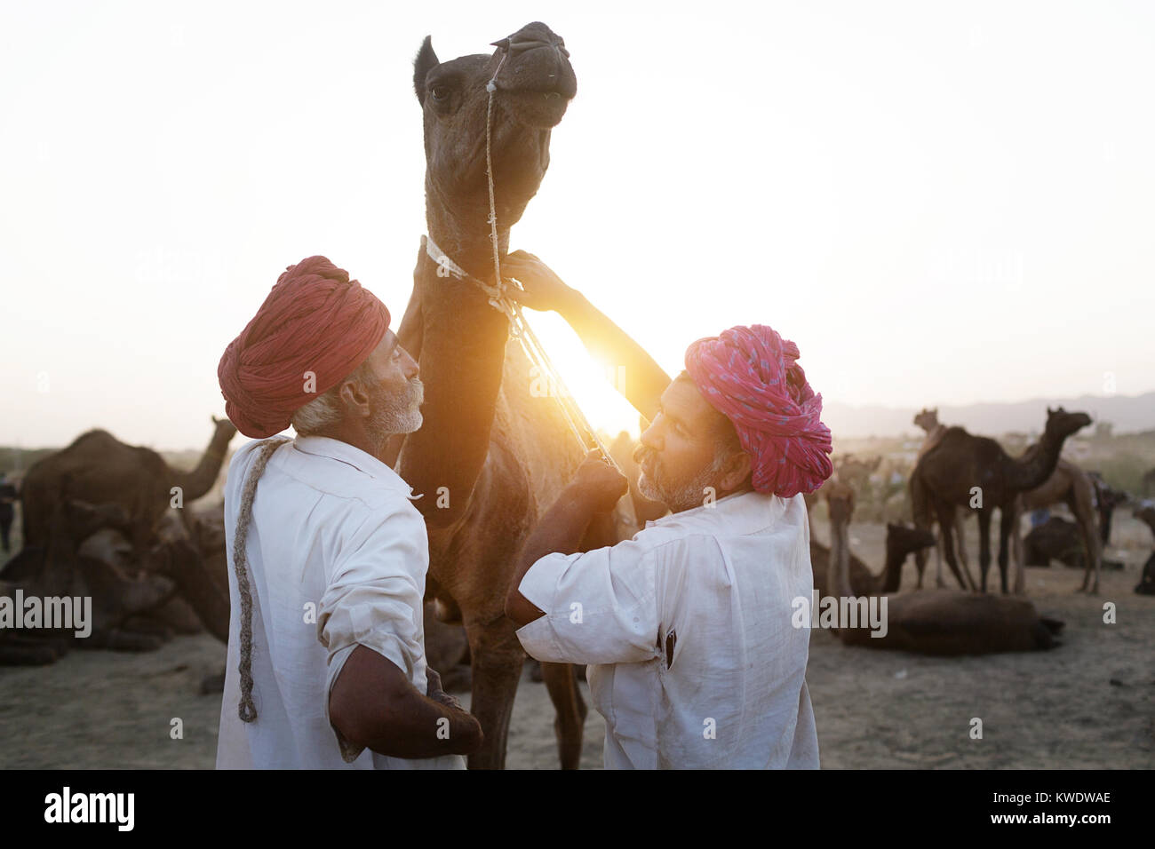 Scene at Pushkar Camel Fair, traders trying to tame disobedient camel, Rajasthan, India - Stock Image