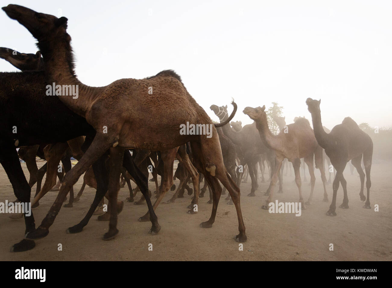 Acene at Pushkar Camel Fair, side view of herd of camels in dusty market place, Rajasthan, India - Stock Image