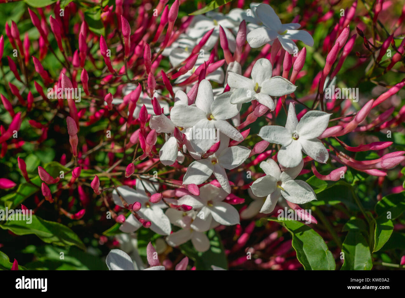 Closeup Horizontal Photo Of Star Jasmine Flowers Jasminum Stock