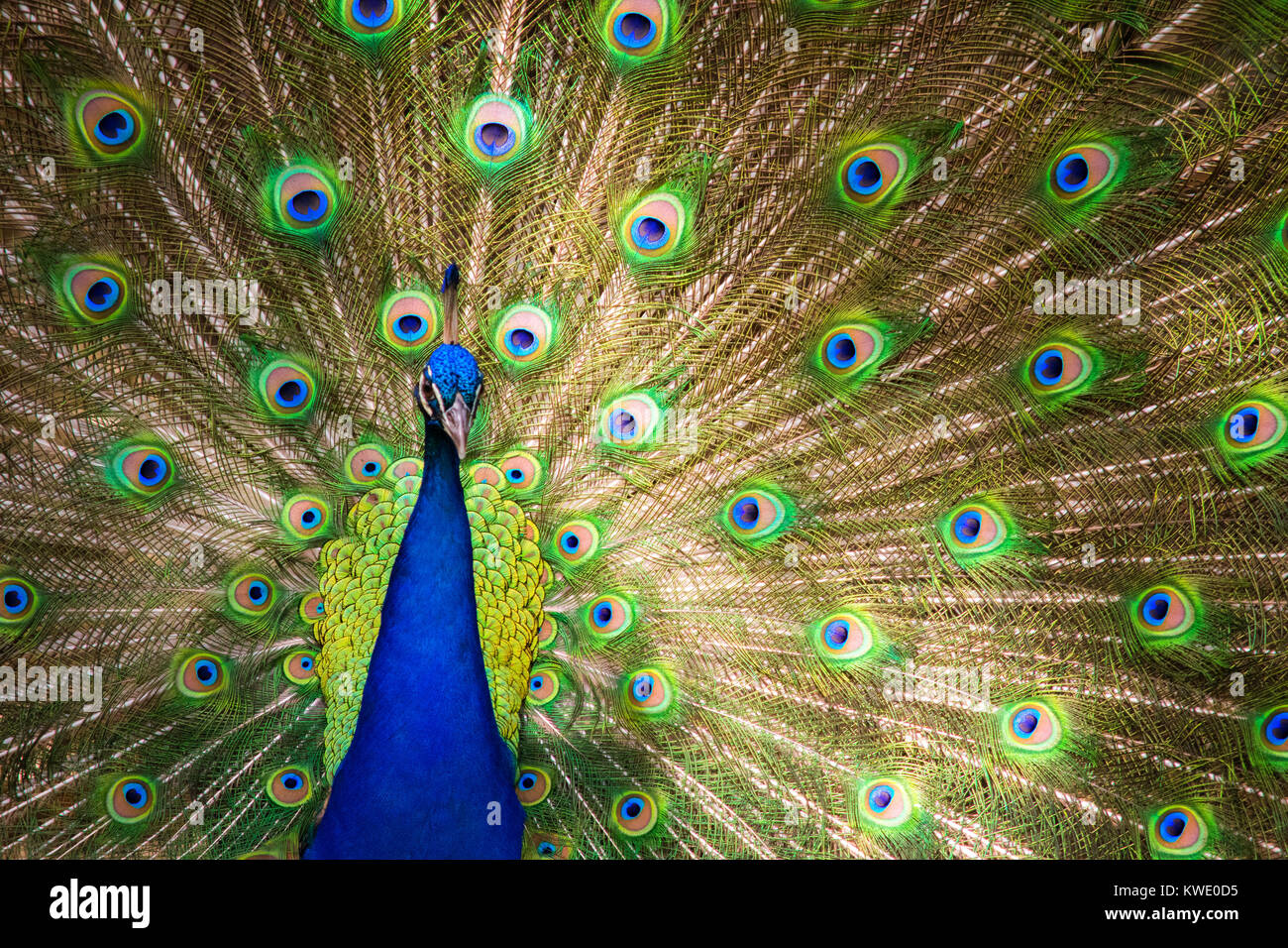 The Beauty of a Peacock. - Stock Image