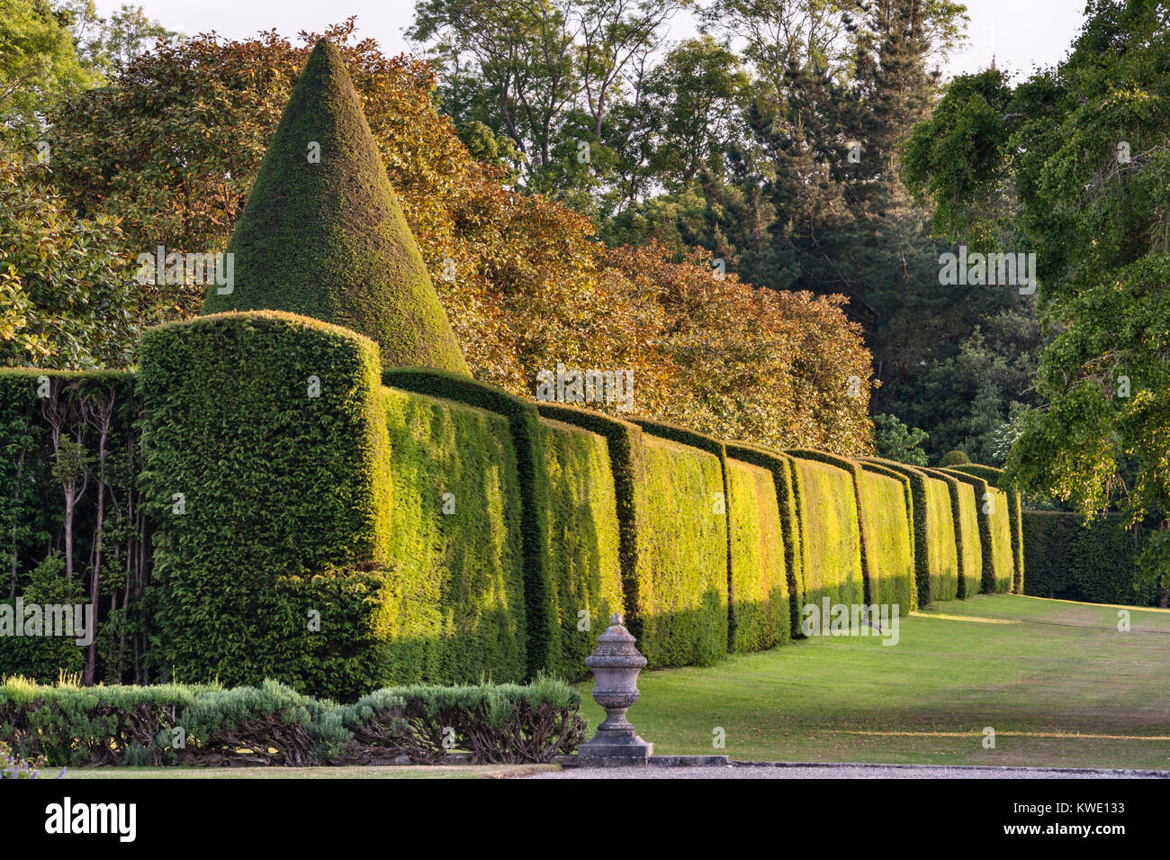 Antony House, Torpoint, Cornwall, UK. A rabbit leaps out from the clipped yew hedge in the formal gardens of this - Stock Image