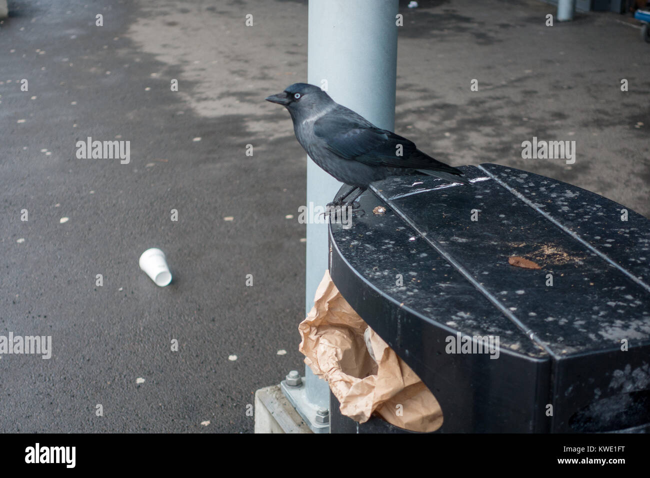 Jonkoping, Sweden- February 2nd, 2018: Jackdow is looking for food by the A6 shopping centre in Jonkoping Stock Photo
