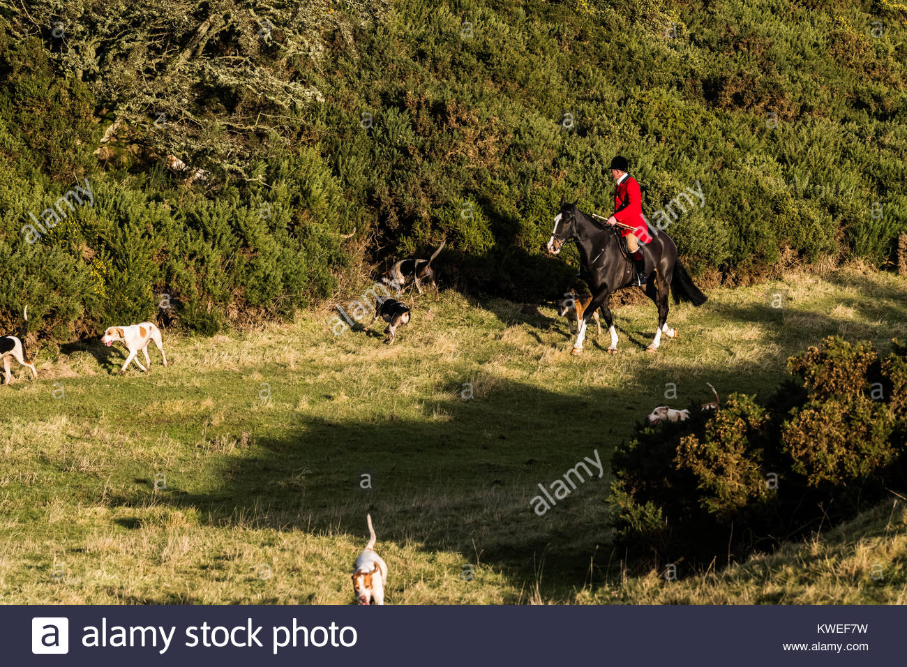 Tim Allen, huntsman of the Duke of Buccleuch foxhounds, draws a thick clump of gorse for a fox near Midlem village Stock Photo