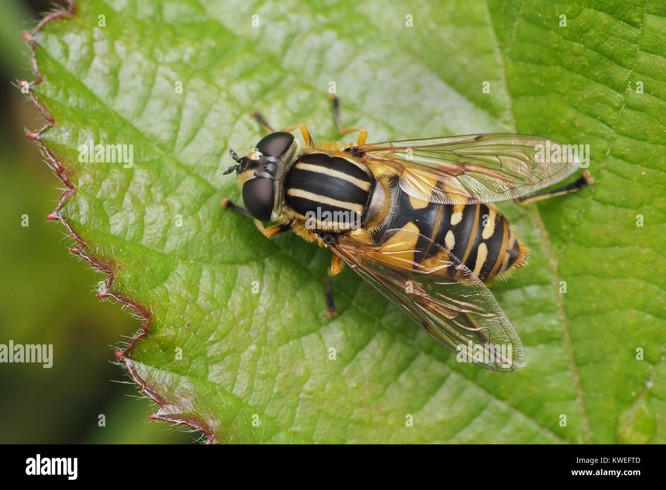 Hoverfly (Helophilus pendulus) aka The Footballer hoverfly. Dorsal view of female on a bramble leaf. Thurles, Tipperary, - Stock Image