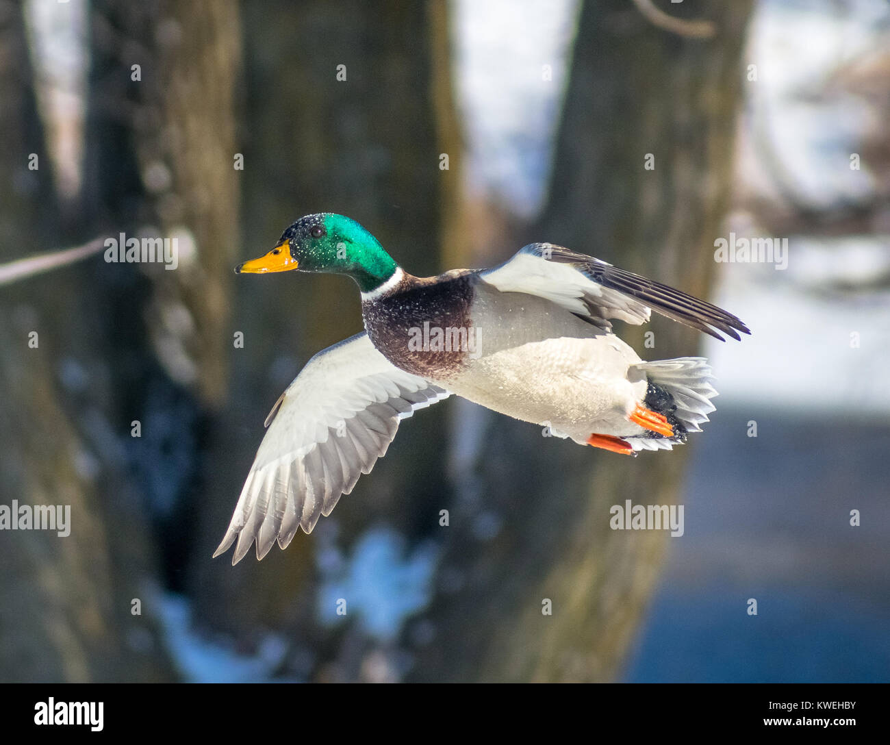 Male Mallard Flying - Stock Image