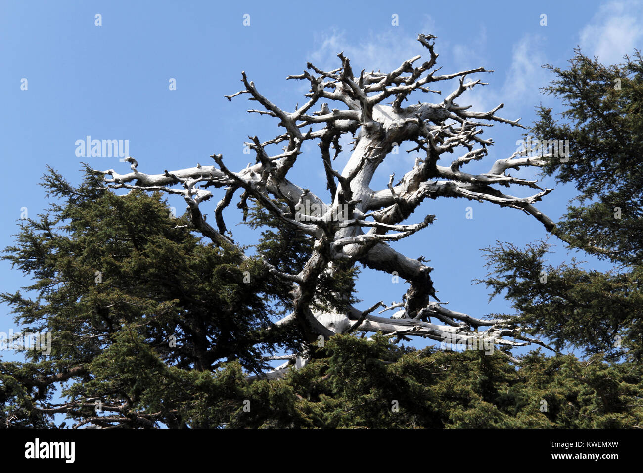 Dry top prt of big cedar tree in the forest, Turkey - Stock Image