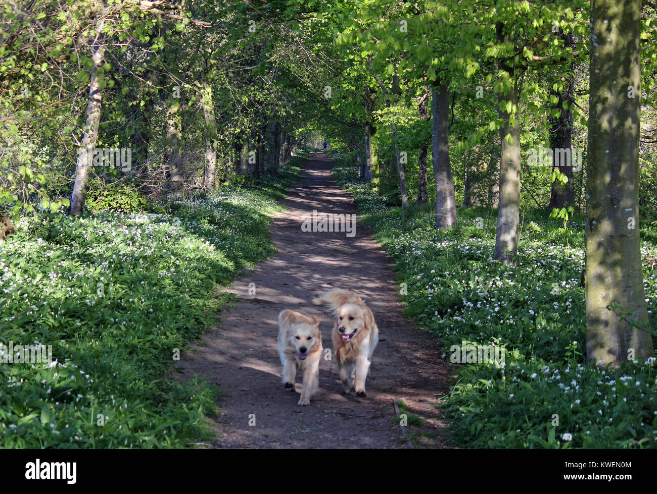 Two Golden Retrievers walking through the woods - Stock Image