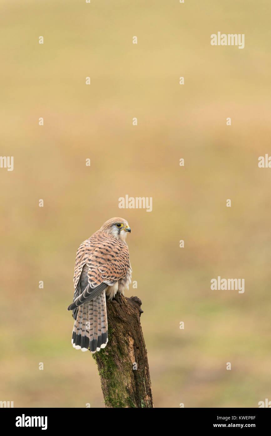 Common kestrel , female; Falco tinnunculus, perched on old tree stump, mid winter on Oxfordshire farm land. - Stock Image