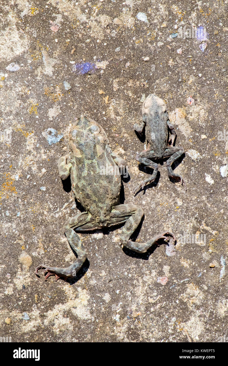 Two dead Common toads lie on the old concrete surface (Bufo bufo) - Stock Image
