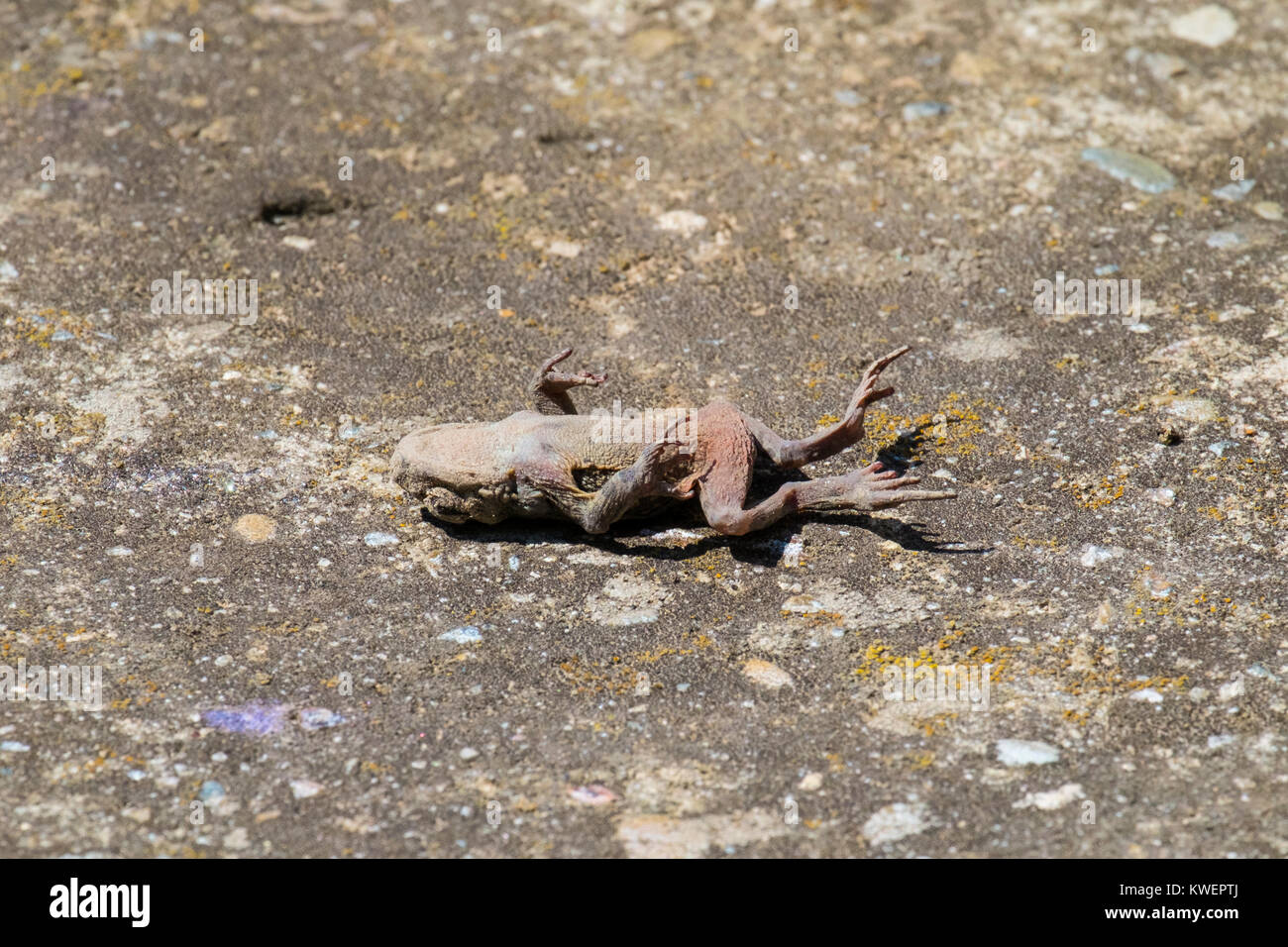 Dead Common toad lies on an old concrete surface (Bufo bufo) - Stock Image