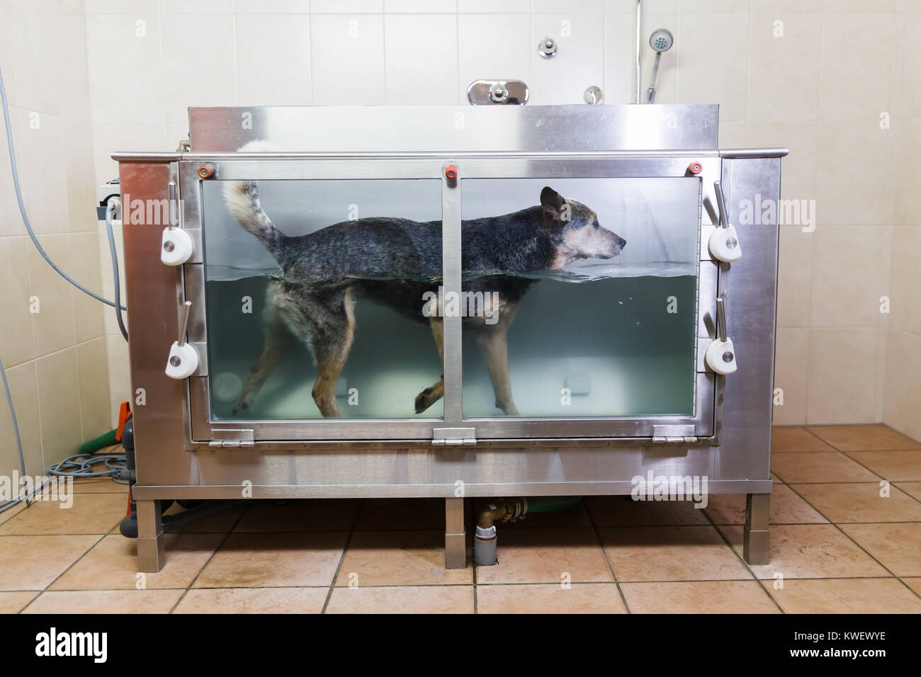 picture of an Australian Cattledog in a hydrotherapy station Stock Photo