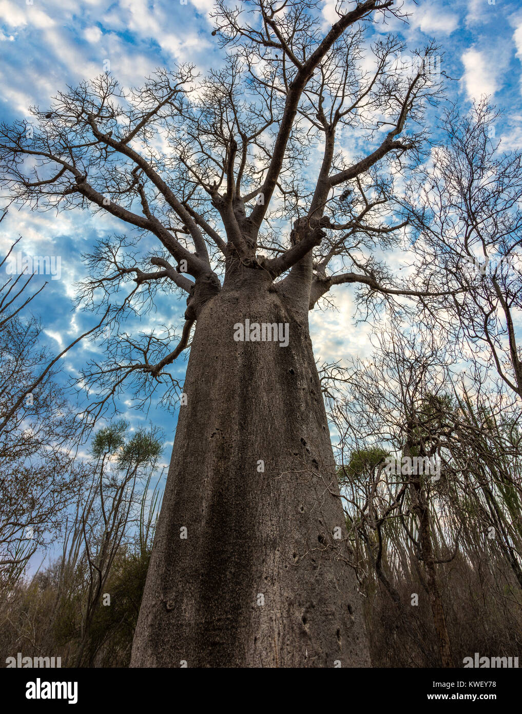 A Giant Baobab (Adansonia za) tree against cloudy sky in the Spiny Forest of Berenty Private Reserve. Southwest - Stock Image