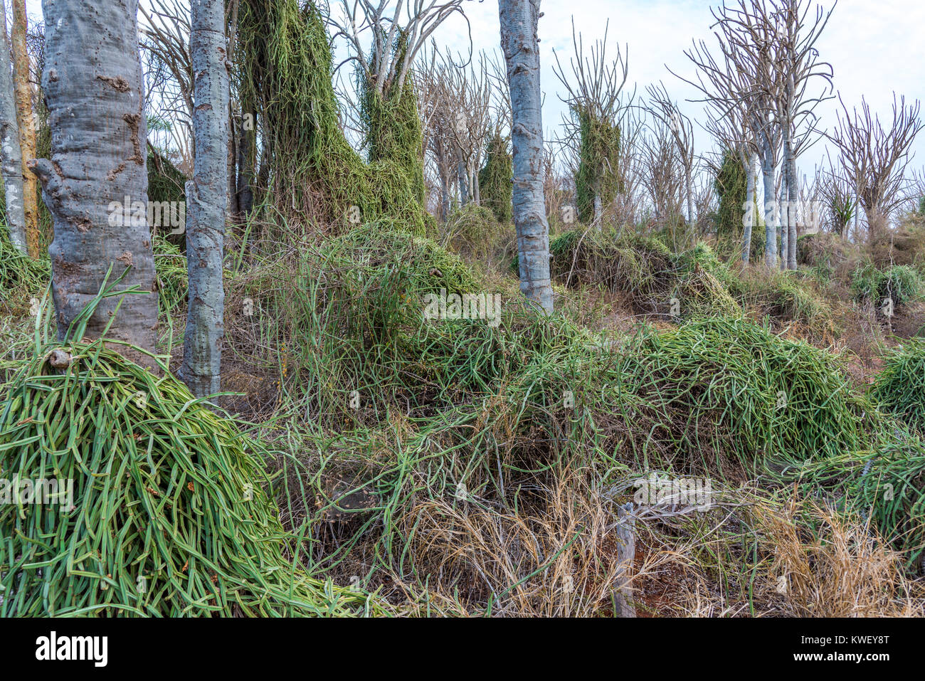 Cissus quadrangularis, an invasive species, blankets the native species in the Spiny Forest of Berenty Private Reserve, - Stock Image
